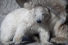 Eisbärbaby