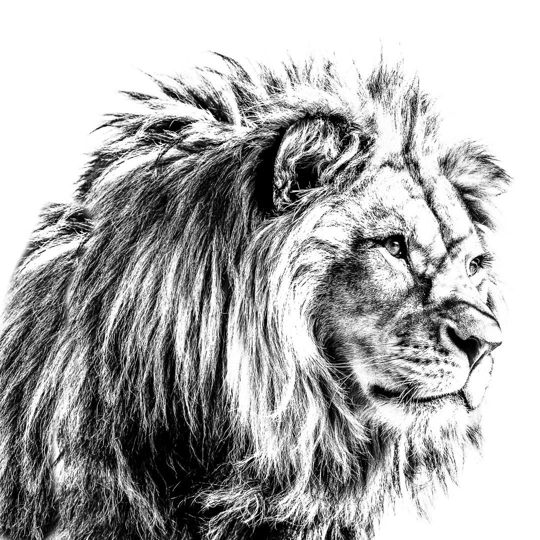 Basu (Panthera leo)