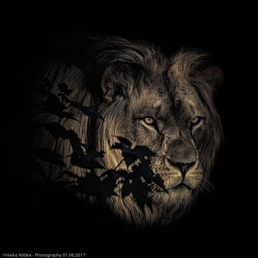 Löwe (Panthera leo)