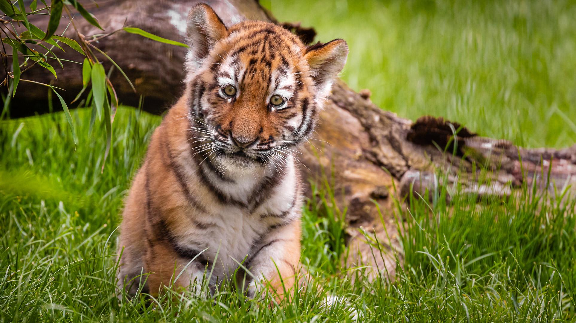 Tigerbaby