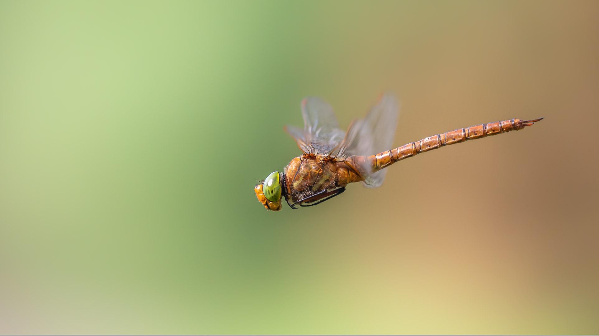 Keilfleck-Mosaikjungfer im Flug / flying green-eyed hawker