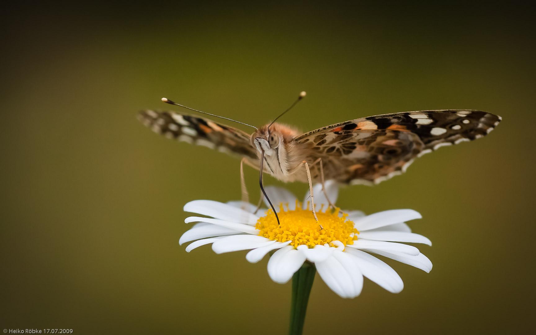 Distelfalter (Vanessa cardui Linnaeus)
