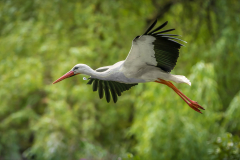 Klapperstorch / rattle stork