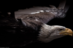 Weißkopfseeadler (Haliaeetus leucocephalus)