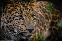 Leopard (Panthera pardus japonensis)