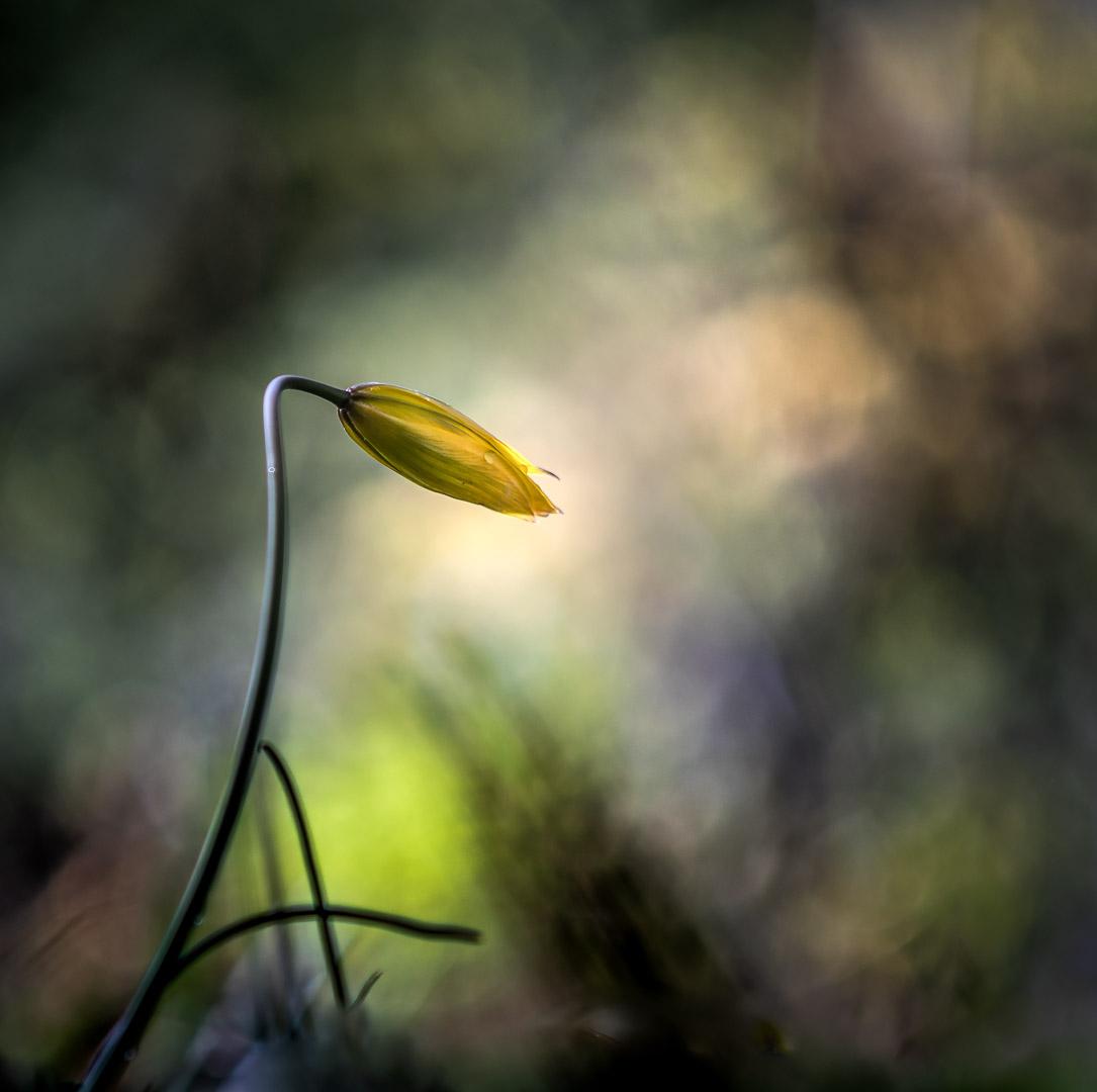 Wilde Tulpe / wild tulip (Tulipa sylvestris)