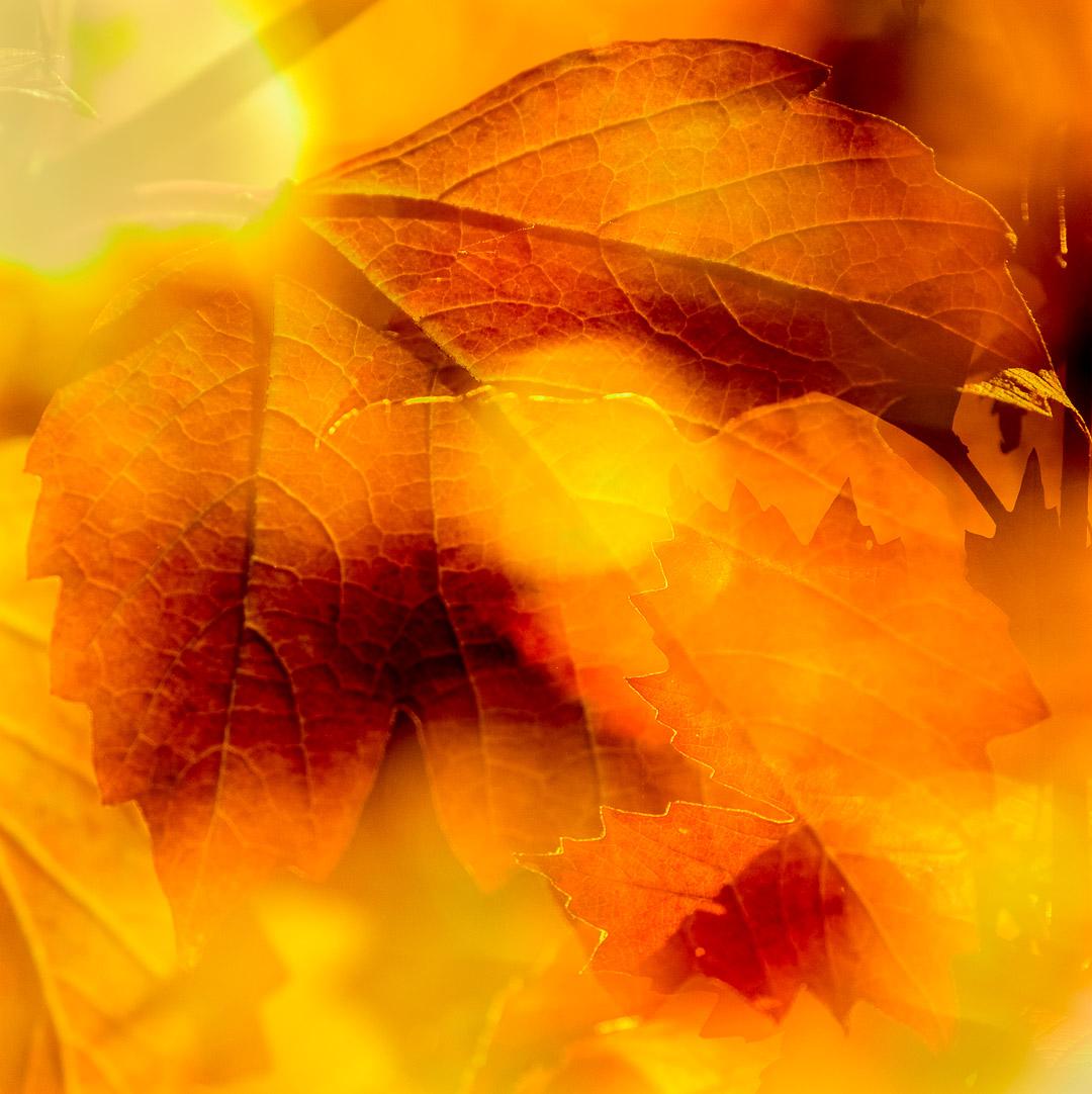 Ahorn im Herbstlicht / maple in autumn light