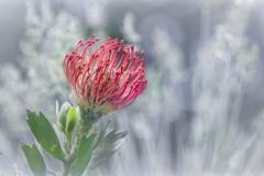 Nadelkissenprotea / pin cushion protea(Leucospermum Ayoba® Red)