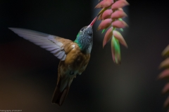 Rostbauch-Amazilie (Amazilia amazilia)