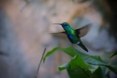 Veilchenohrkolibri (Colibri coruscans)