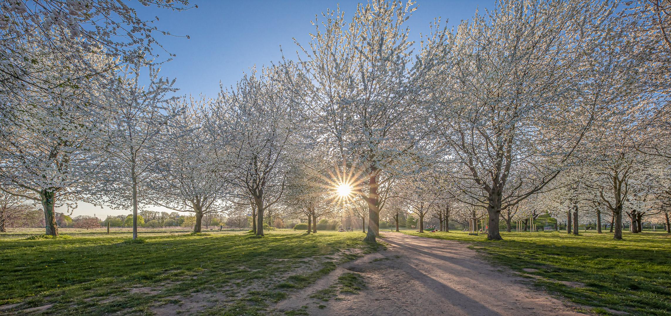 Kirschblüte / cherry blossom