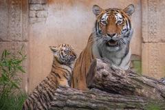 Tigerbabys