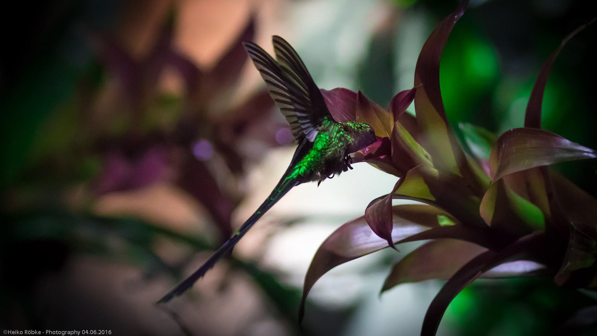 Kolibri: Grünschwanzsylphe (lat. lesbia nuna)